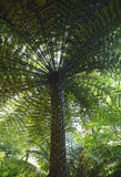 Giant fern in Sintra park Royalty Free Stock Photo