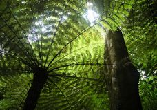 Fern trees rising up toward the sky. A giant fern tree seen from below. The leaves are green, and the trunk and branches look black against the sunshine. The Stock Images