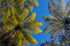 Giant ferns against blue sky Royalty Free Stock Photos