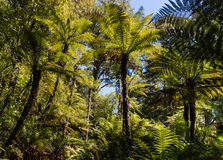 Giant ferns growing in rainforest Royalty Free Stock Image