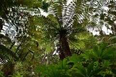 Giant ferns in native New Zealand bush. Giant ferns spreading their branches among other trees and dense greenery in native New Zealand bush Royalty Free Stock Photos
