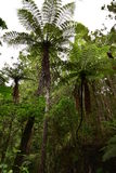 Giant ferns in native New Zealand bush. Giant ferns spreading their branches among other trees and dense greenery in native New Zealand bush Stock Images
