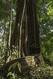 Giant Ficus annulata Blume stock photo