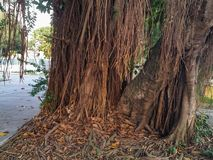 Giant Ficus Banyan Tree. A giant textured ficus tree in a tropical environment stock image