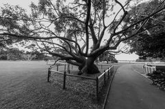 A giant ficus in a garden in Sydney royalty free stock photo