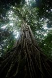 Giant ficus tree in Tangkoko National Park. North Sulawesi. Indonesia, lush and dense primary rain forest. View into jungle canopy royalty free stock photo