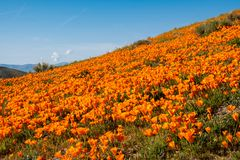 Giant Field Of Poppies In Antelope Valley Poppy Reserve In California During The Superbloom Royalty Free Stock Images