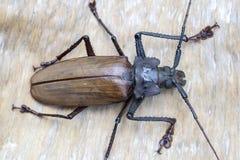 Giant Fijian longhorn beetle from island Koh Phangan, Thailand. Closeup, macro. Giant Fijian long-horned beetle, Xixuthrus heros. Giant Fijian longhorn beetle royalty free stock photos