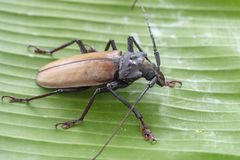 Giant Fijian longhorn beetle from island Koh Phangan, Thailand. Closeup, macro. Giant Fijian long-horned beetle, Xixuthrus heros. Giant Fijian longhorn beetle stock photos