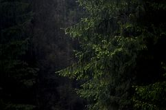 Giant  fir tree in a dark forest. Giant  fir tree in a dark mountain forest during rain in Transylvania, Romania Royalty Free Stock Photos