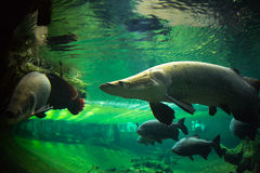 Giant fishes underwater Royalty Free Stock Images