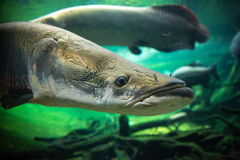 Giant fishes underwater Royalty Free Stock Photography