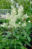 Giant Fleeceflower Persicaria polymorpha. In the garden Royalty Free Stock Photography