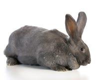 Giant flemish bunny Royalty Free Stock Photo