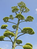 Giant flower of agave. The giant, 6 meter high, flower of a tropical agave in Costa Brava, Spain Stock Image