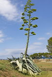 Giant flowering agave. Giant agave flowering with a flower about 6 meters high Royalty Free Stock Images