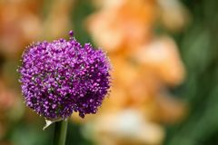 Giant Flowering Onion (Allium giganteum) Royalty Free Stock Images