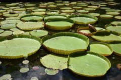 Giant Flowering Water Lily, spectacularly beautiful. stock images