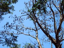 Giant flying foxes resting on a tree branch royalty free stock photo