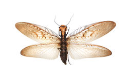 Giant flying insect. On white Royalty Free Stock Image