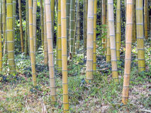 Giant forest bamboo Stock Image