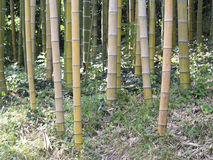 Giant forest bamboo. On a grass Stock Image