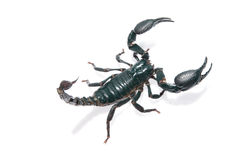 Giant forest scorpion Royalty Free Stock Images