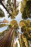 Giant Forest Sequoia National Park Stock Image
