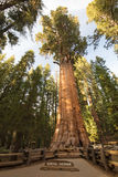 Giant Forest Sequoia National Park Royalty Free Stock Images