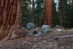 Giant forest in Sequoia NP royalty free stock photo