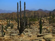 Cactus  forests. Giant forests of cactus on the driest deserts of Peru, these cacti can reach up to 8 meters height Stock Photo