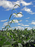 Giant foxtail (Setaria faberi) in soybean (Glycine Royalty Free Stock Photo
