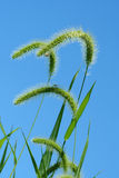Giant Foxtail weeds against a blue sky Stock Photography
