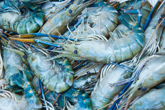 Giant freshwater prawn Stock Images