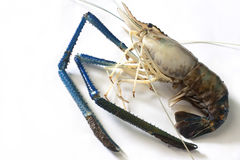 Giant freshwater prawn Royalty Free Stock Images