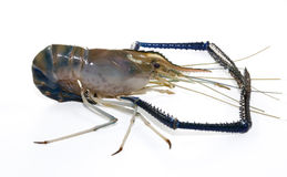 Giant Freshwater Prawn Stock Photography