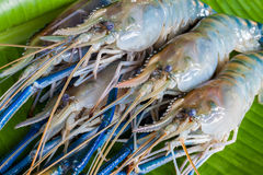 Giant Freshwater Prawn, Fresh shrimp on banana leaf. Green background royalty free stock image