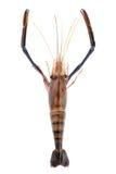 Giant freshwater prawn, Fresh shrimp isolate on white background Royalty Free Stock Image
