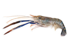 Giant freshwater prawn, Fresh shrimp isolate on white background Stock Photos