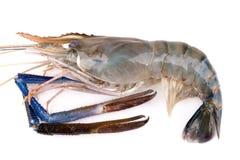 Giant freshwater prawn, Fresh shrimp isolate on white background Royalty Free Stock Photo