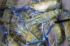 Giant freshwater prawn Stock Photos