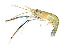 Giant freshwater prawn Royalty Free Stock Image