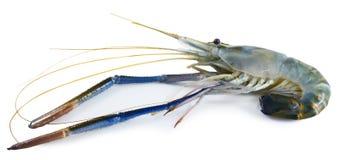 Giant freshwater prawn on white background Stock Photos