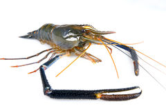 Giant freshwater prawn Stock Photography