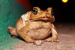 Giant frog Royalty Free Stock Photos
