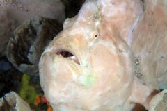 Free Giant Frogfish Royalty Free Stock Photo - 34991065