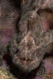 Giant frogfish in Ambon, Maluku, Indonesia underwater photo Royalty Free Stock Image