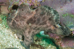 Giant frogfish in Ambon, Maluku, Indonesia underwater photo Stock Image