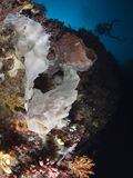 Giant frogfish Royalty Free Stock Photo