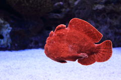 Giant frogfish Stock Photos